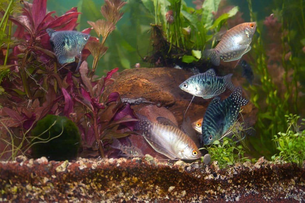 Aquarium Fish Swim In An Aquarium With Beautiful Algae.